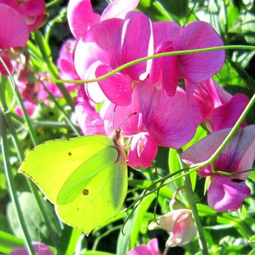 papillon citron (Prades d'Aubrac)