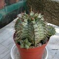 Euphorbia horrida v. minor