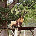 52 - Lion