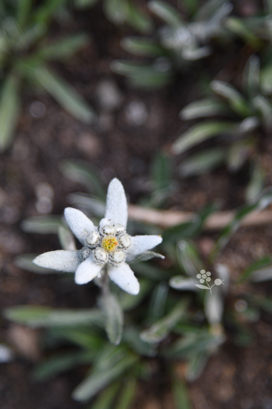 Suisse, Edelweiss