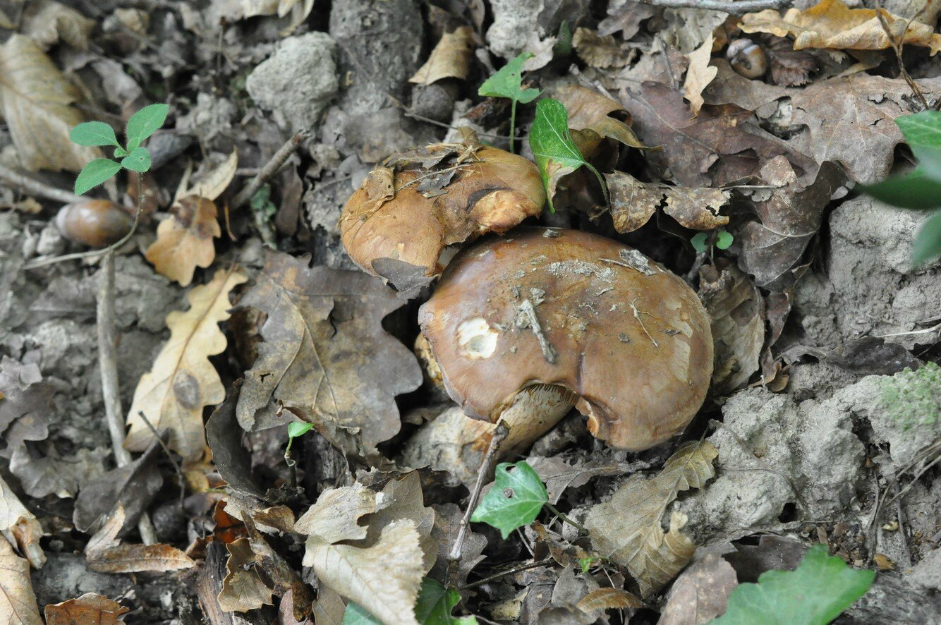 Cortinarius sp (5)
