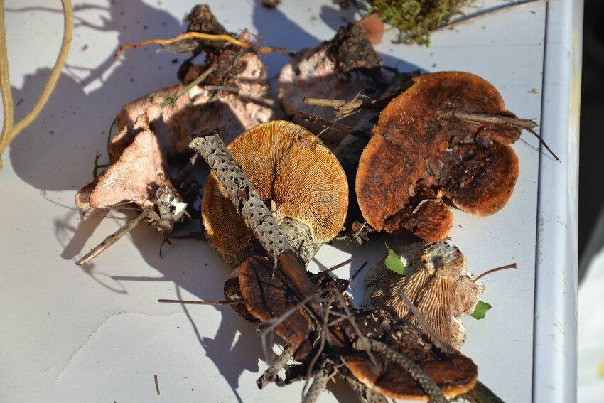 Gloeophyllum sepiarium (2)