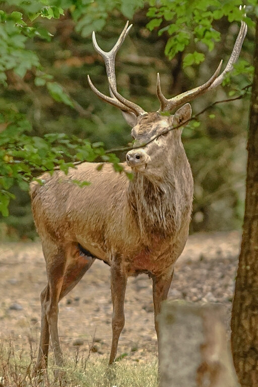 cerf a l'ecoute