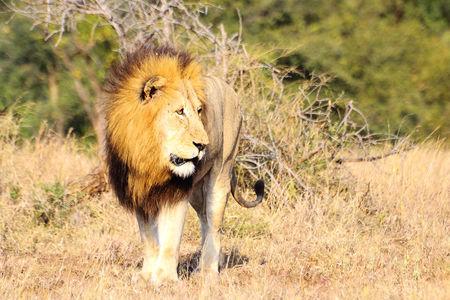 Lion__parc_Kruger__Afrique_du_Sud__7_