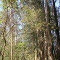 Forêt eucalyptus