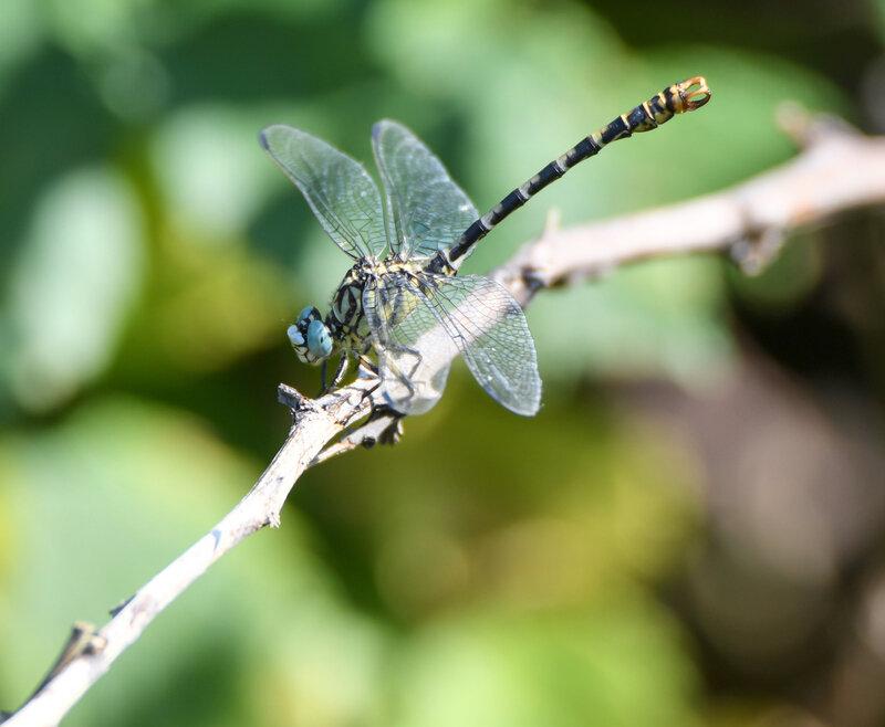 Onychogompe à pinces - Onychogomphus forcipatus (3)
