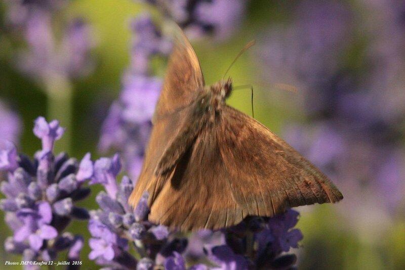 Photos JMP©Koufra 12 - Papillons - 04 juillet 2016 - 00007 - 001b
