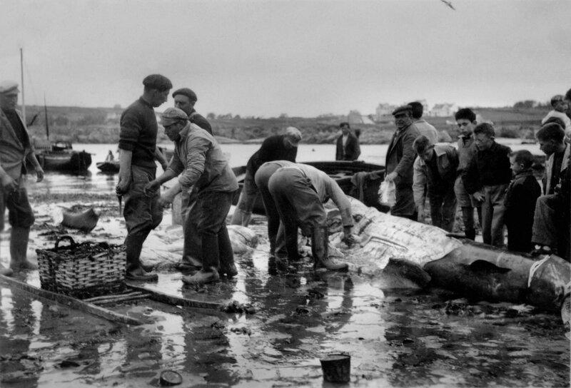 Ch33 - Découpage d'un requin pèlerin au Loch en 1958 - 1