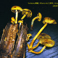 Hypholoma fasciculare_1993_1025