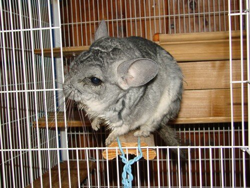2008 04 04 Le chinchilla