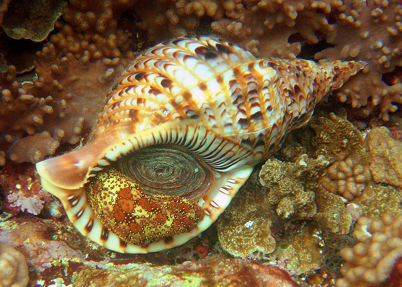 Charonia_tritonis_in_Guam