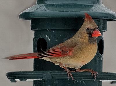 Cardinal_rouge-f1
