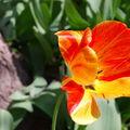 Encore des tulipes .. on en profite ça va pas durer !