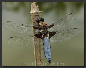 Libellula-depressa-Libellule-deprimee-male--Plattbauchlibelle-maennchen3