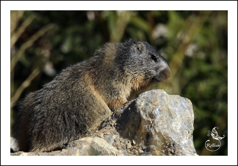 Famille marmotte 2
