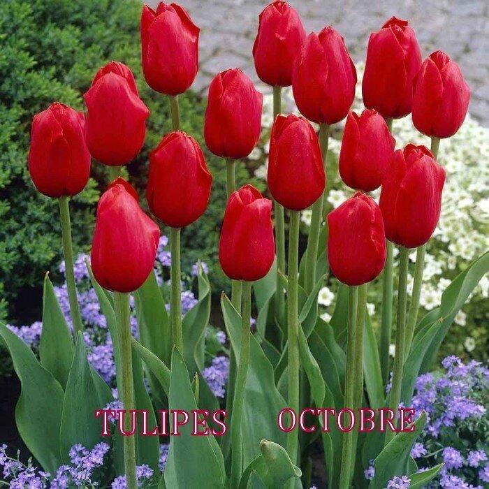 tulipe-simple-kingsblood11