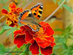 papillion (4)