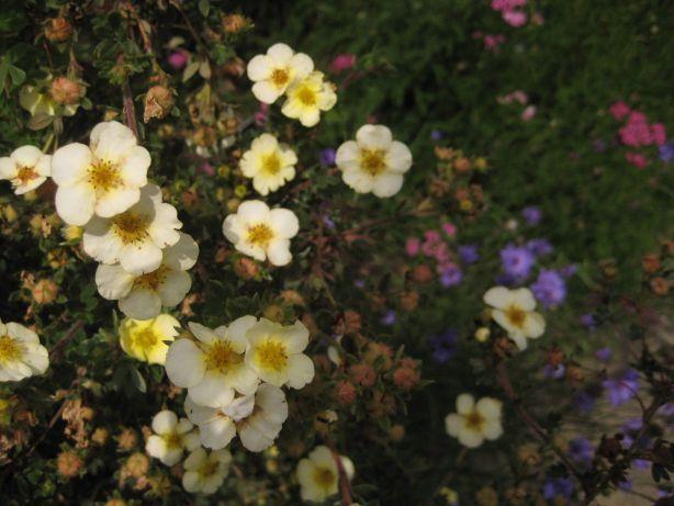 sissinghurst_fleurs_jaunes