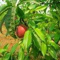 Les fruits de Moc Chau (une pêche)