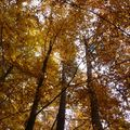 2009 10 31 Des Fayards (hêtres) aux couleurs de l'automne