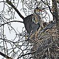 Hérons cendrés nidifiant sur la Loire à Orléans