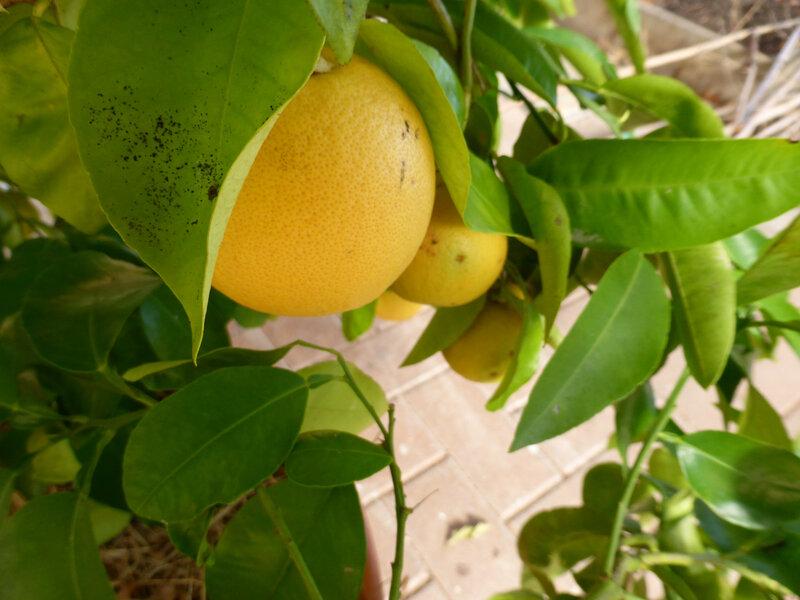23-citronniers, pamplemoussier (2)
