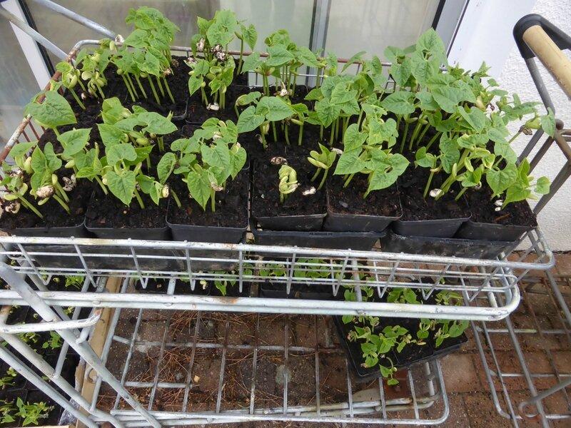 16-haricots-semis (4)