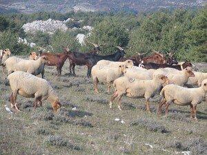 Moutons___Caussols_3