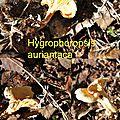 Hygrophoropsis auriantaca