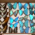 Cacao : musée : splendeur des morphos épinglés...