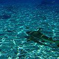 requins-bora-bora