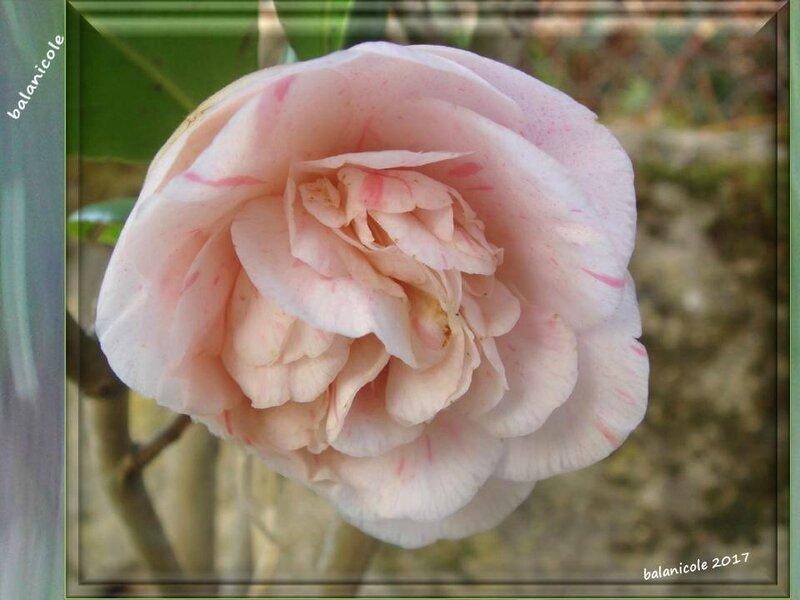 balanicole_2017_02_le printemps des arbustes_30_camélia rose