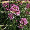 22 Saponaria officinalis