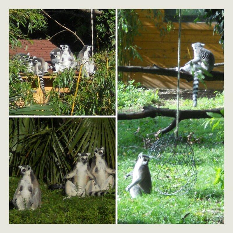 Lémuriens zoo de Beauval