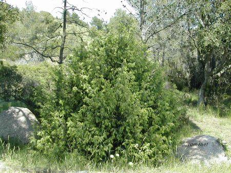 Juniperus_oxycedrus__3_