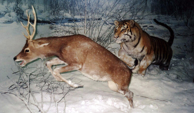 1280px-Tiger_chasing_a_deer_cropped