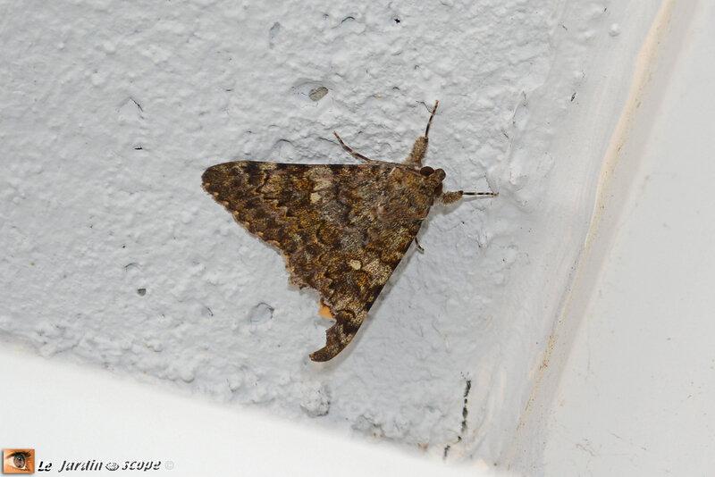 Catocala-nymphaea-2