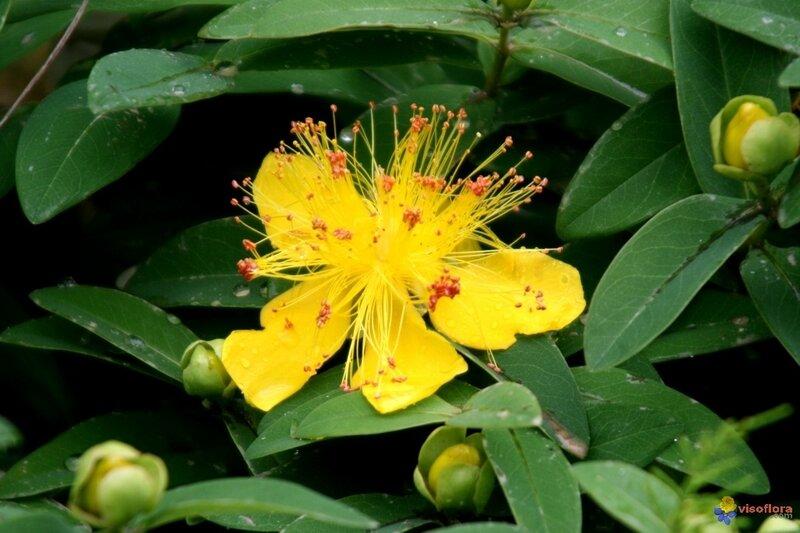 millepertuis-visoflora-3479