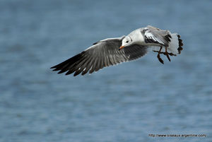 mouette_t_te_grise__8_