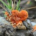 Picnoporus cinnabarinus (2)