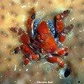 crabe bijou