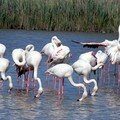 Flamants roses 09