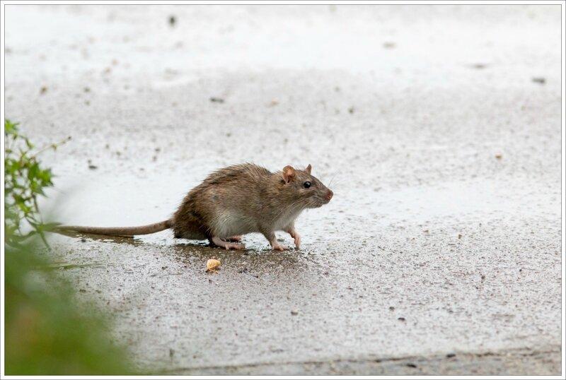 ville pluie rat ecluse 2 241016