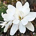 Avril met en scène la constellation des fleurs du magnolia...