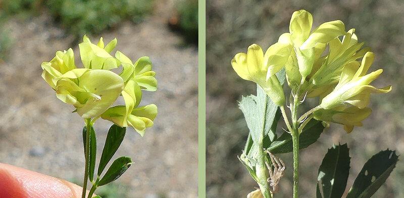 5-25 fleurs de 7-8 mm jaunes pédicelles plus longs que le calice