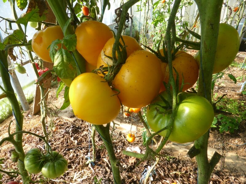 7-tomates (12)