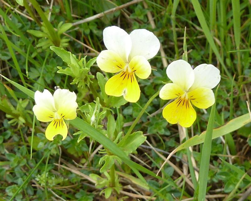 pensée des champs (viola arvensis)