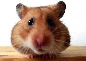 hamster_