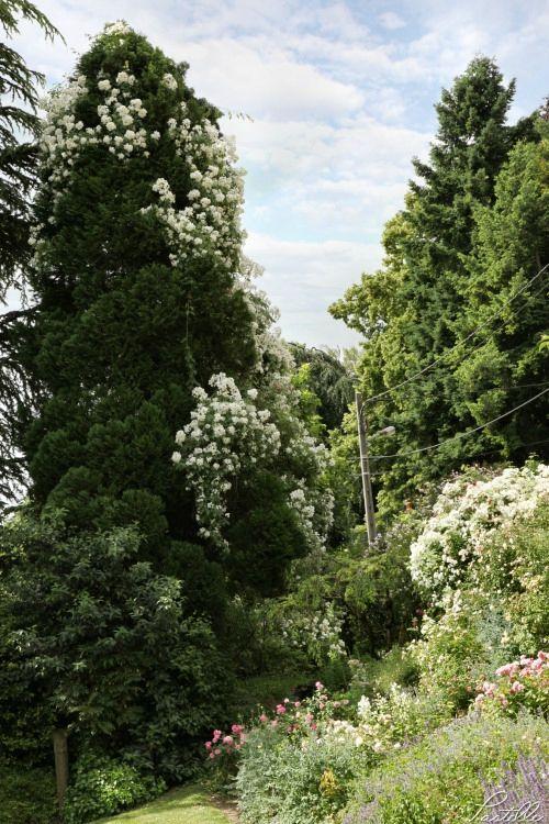 Roses sapin_13 22 06_5519