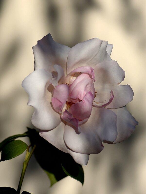 Rose Sophie 8 24-04-17